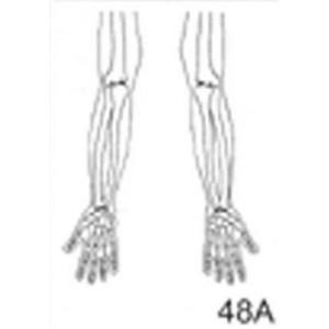 Anatomical Drawings, AP Upper Limb