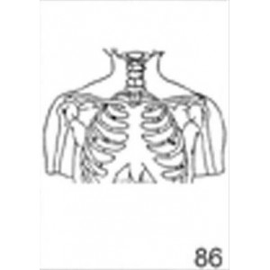 Anatomical Drawings, AP Upper Skeletal