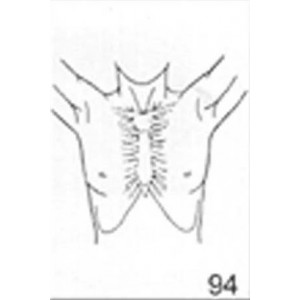 Anatomical Drawings, AP Upper Torso Male with Arms Up